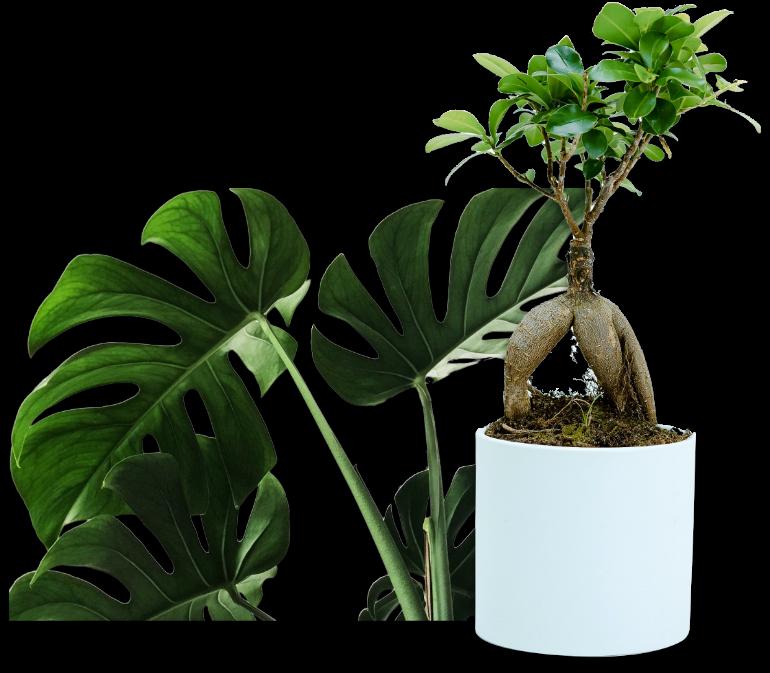 ナプアの観葉植物 ギフトに最適